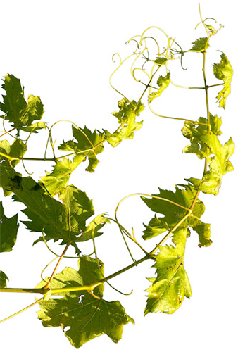 Weinblatt-links